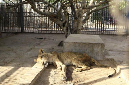 Revelan devastadoras imágenes de leones desnutridos en Sudán